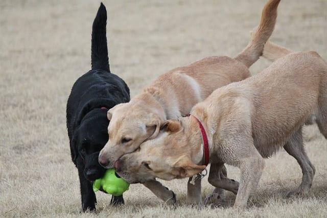 Drie labrador retriever spelen met een hondenspeeltje