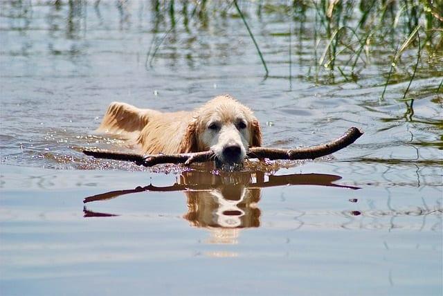 Golden retriever zwemt in het water met tak in mond