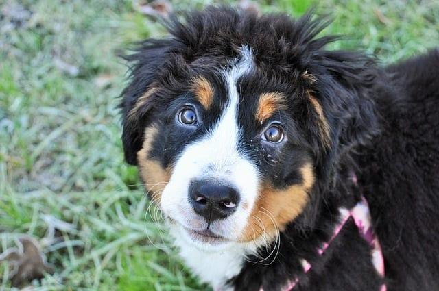 Close-up van een bernersennenhond puppy