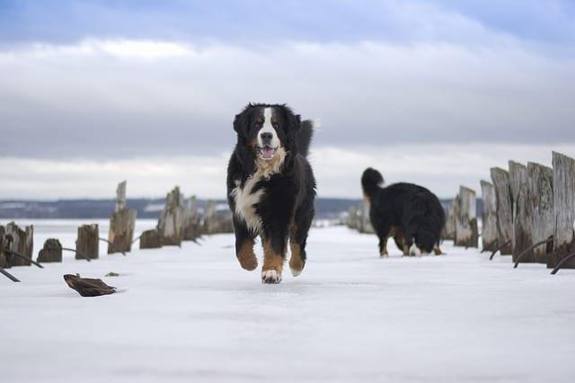 Twee berner sennenhonden in de sneeuw