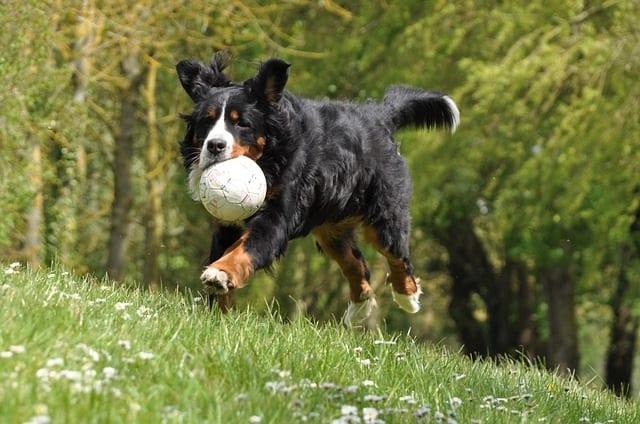 Berner sennenhond speelt met voetbal