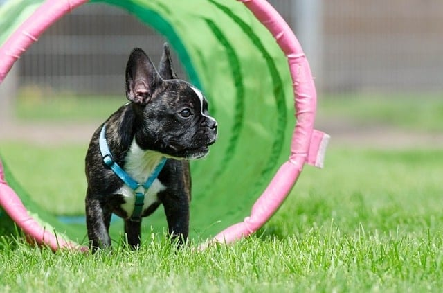 Franse bulldog in agility tunnel op grasveld