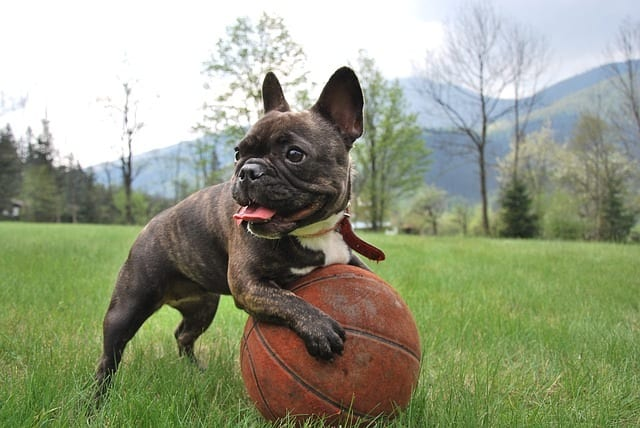 Franse bulldog speelt met basketbal op grasveld