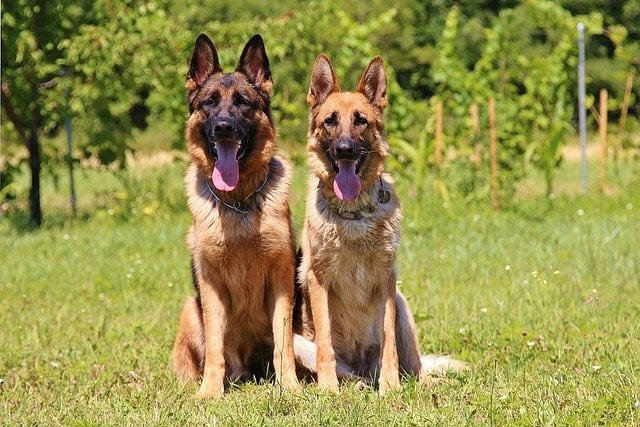 Twee Duitse herders op een veld
