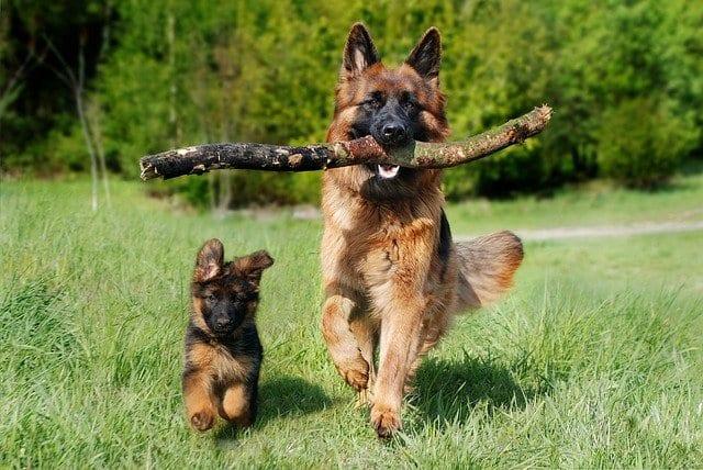 Duitse herder rent samen met Duitse herder puppy