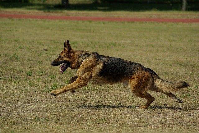 Duitse herder rent over veld