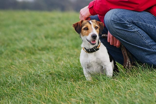 Jack russell terrier met zijn baas op een grasveld