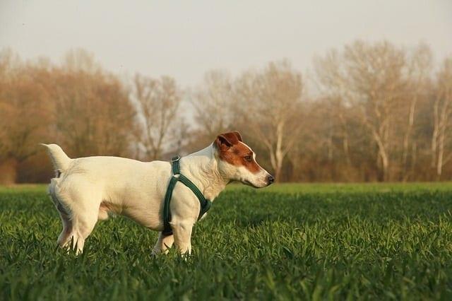 Jack russell terrier op een grasveld