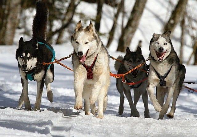 Groep Siberische husky's trekt een slee voort