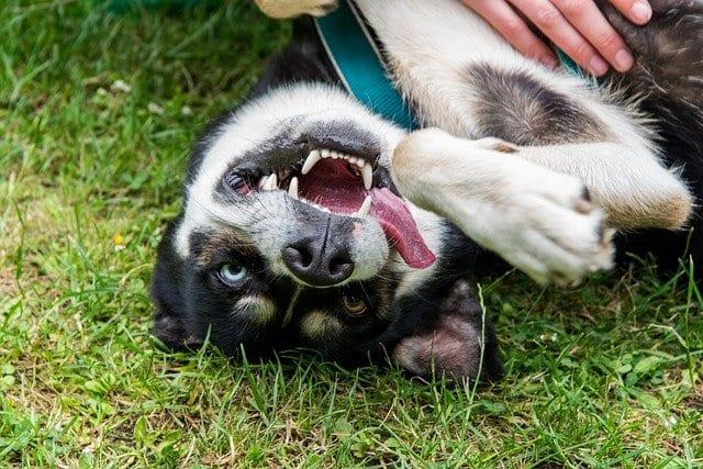 Siberische husky trekt gek gezicht