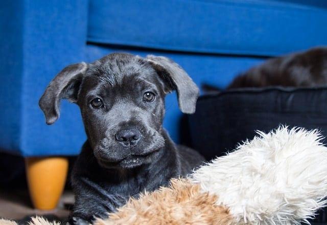 Portret van een cane corso puppy