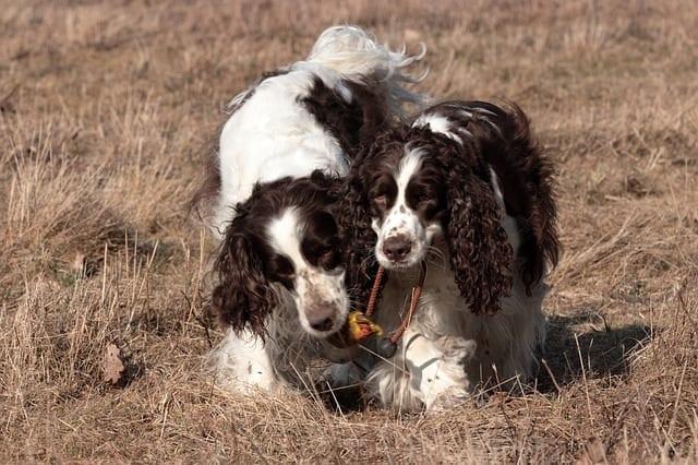 Twee Engelse springer spaniels spelen met een hondenspeeltje