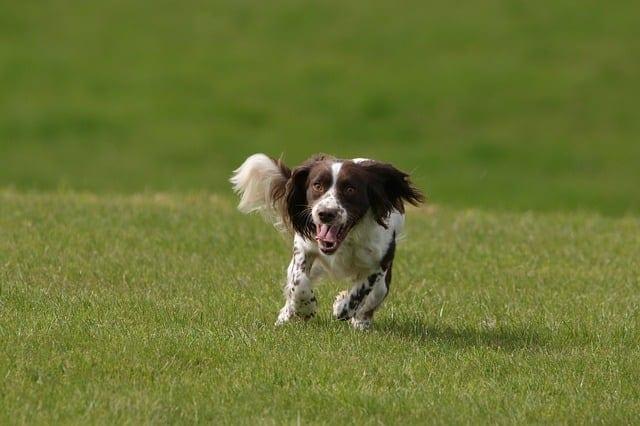 Engelse springer spaniel rent over grasveld