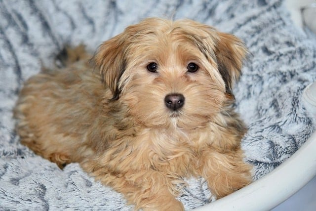 Portret van een havanezer puppy