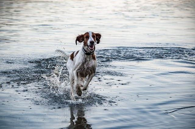 Ierse setter speelt in het water