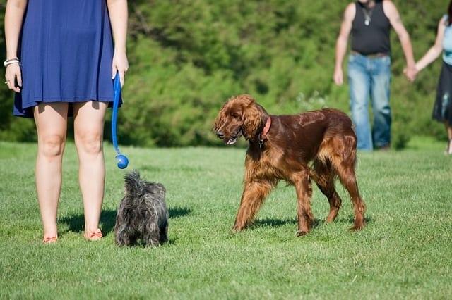 Ierse setter loopt op andere hond af in park