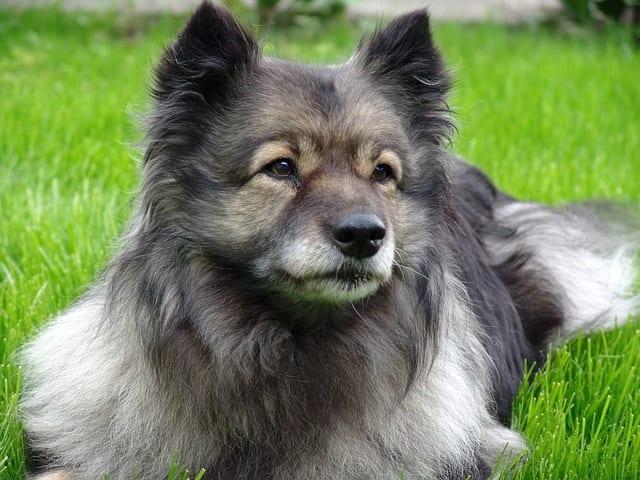 Wolfsgrijze keeshond ligt op het gras