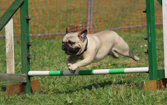 Mopshond springt over hindernis op grasveld