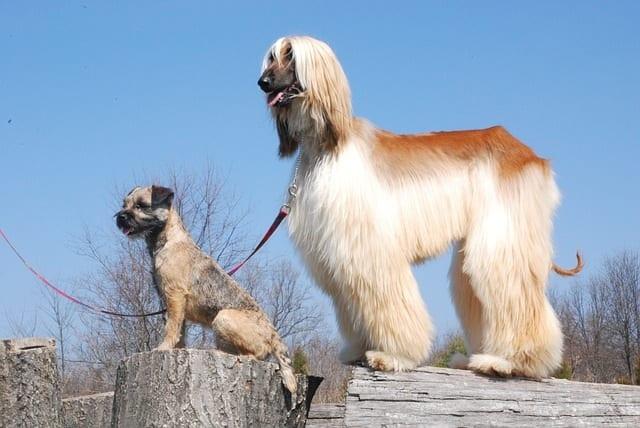 Afghaanse windhond samen met andere hond