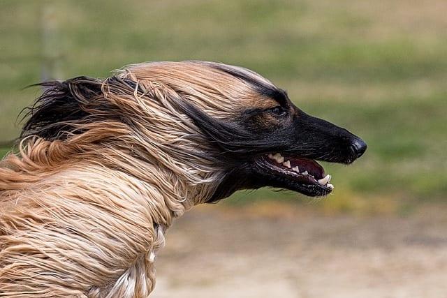 Afghaanse windhond in beweging