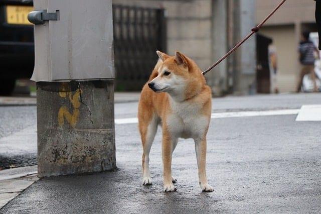 Shiba loopt aan de lijn door de straat