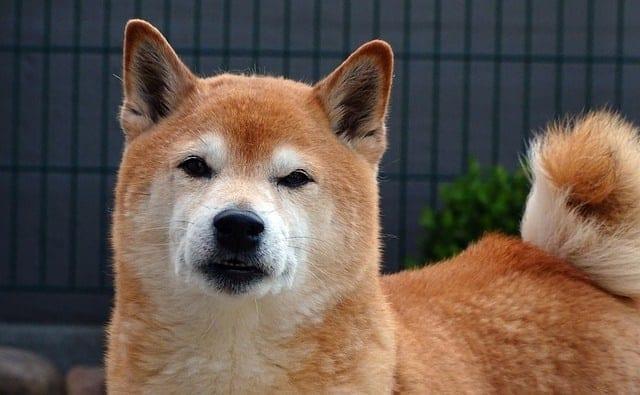 Shiba kijkt boos in de camera