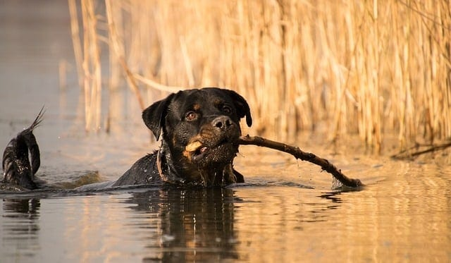 Rottweiler in het water met tak in zijn bek