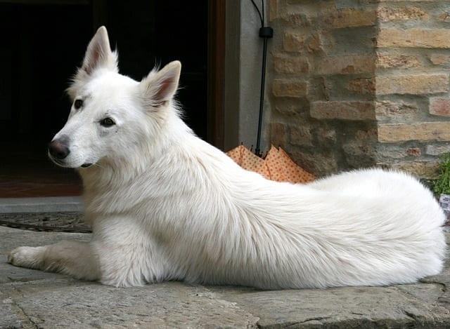 Zwitserse witte herder voor een huis
