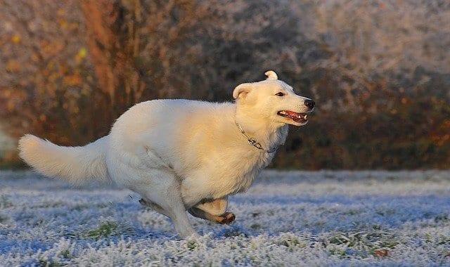 Zwitserse witte herder in de sneeuw