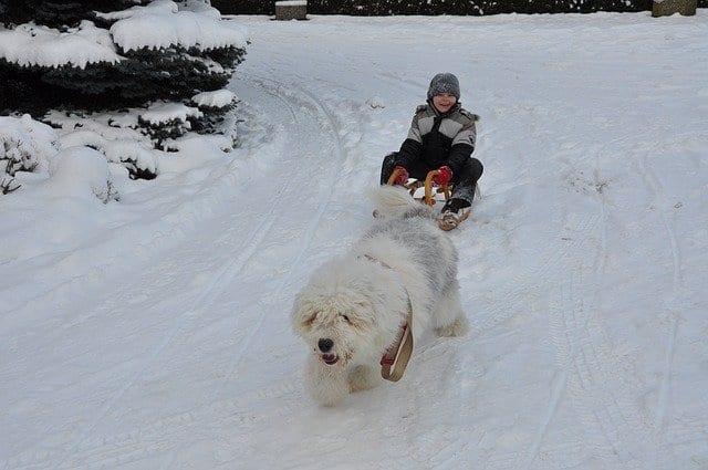 Old English sheepdog trekt kind op slee in de sneeuw