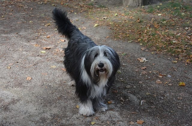 Old English sheepdog met donkere vacht