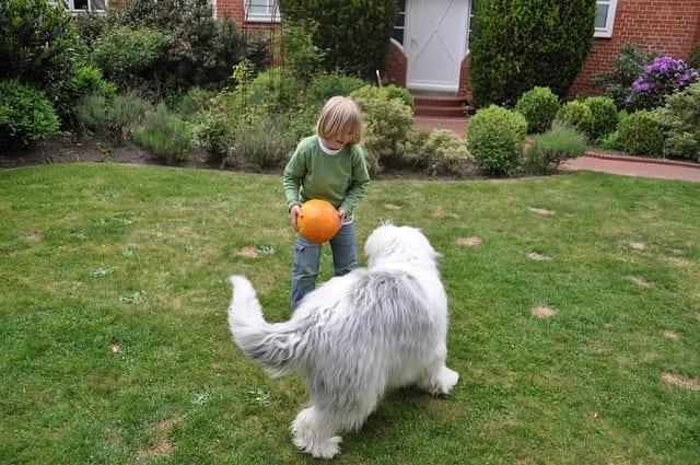 Old English sheepdog speelt met kind
