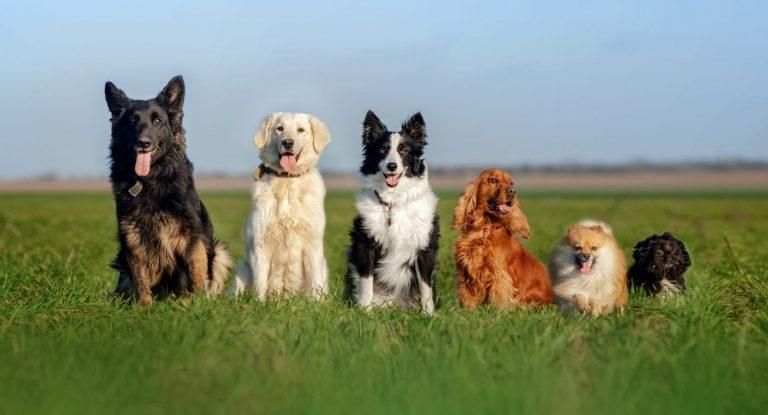 Funny walk with dogs portrait many dogs German shepherd, retriever, border collie, spaniel, spitz and shih tzu