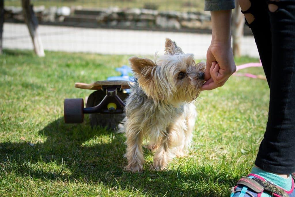 Hond krijgt snoepjes als beloning voor goede training