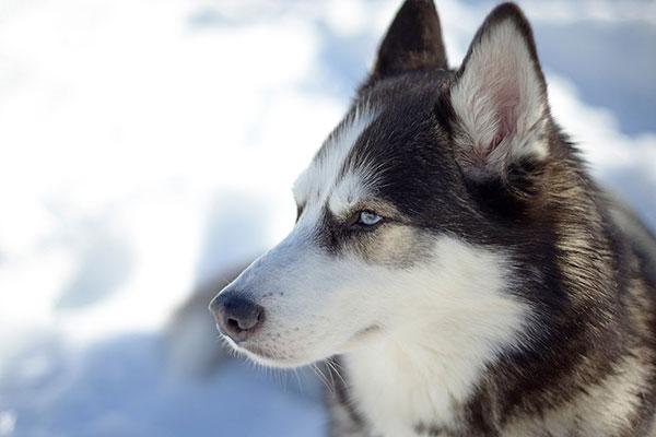 Siberische husky – thumbnail