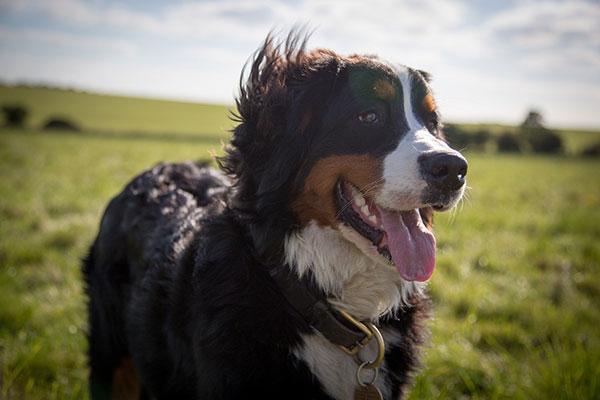 Berner sennenhond – thumbnail