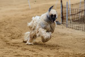 Afghaanse windhond – thumbnail