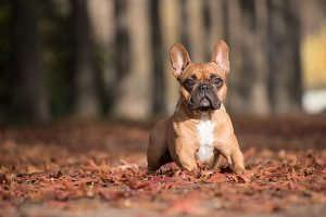 Franse-bulldog – thumbnail