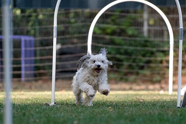 Kleine hond doet aan hoopers