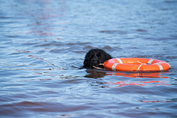 Newfoundlander zwemt met reddingsboei