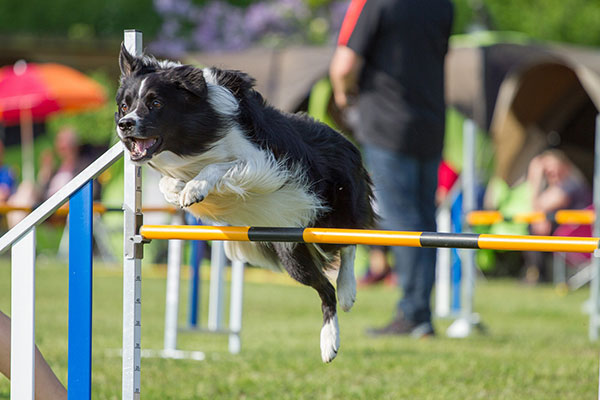 Border collie springt over horde tijdens agility