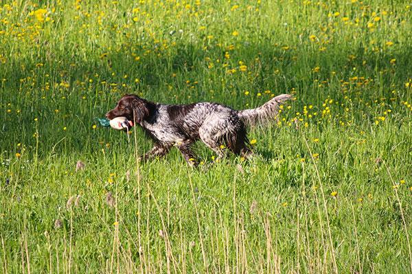 Hond loopt met dummy in zijn bek tijdens jachttraining