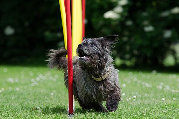 Kleine hond doet slalom tijdens flygility