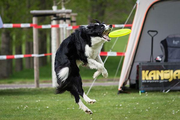 Hond vangt frisbee tijdens wedstrijd