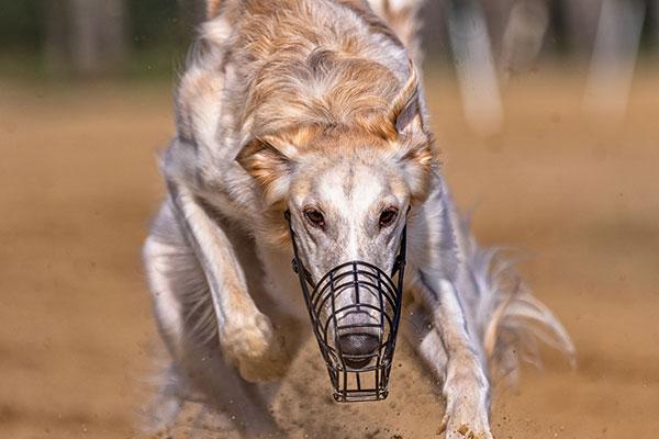 Hond doet aan windhondenrennen