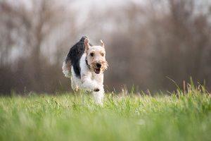 Hond rent door het veld naar zijn baas