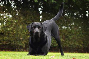 Hond doet warming up op grasveld