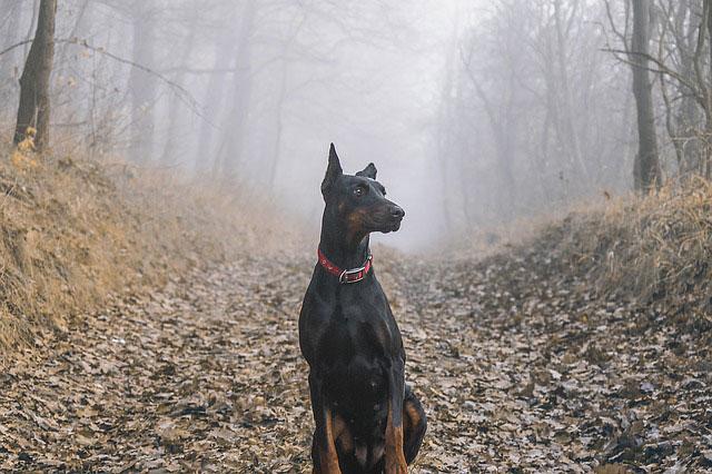 Zwarte dobermann zit in een bos