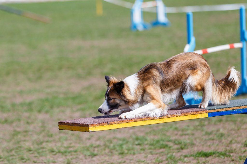 Border collie beoefent hondensport agility.