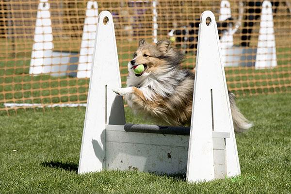 Shetland sheepdog beoefent de hondensport flyball.